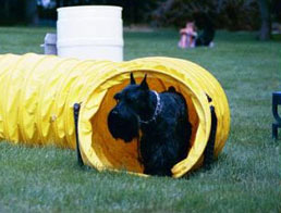 scottie_agility